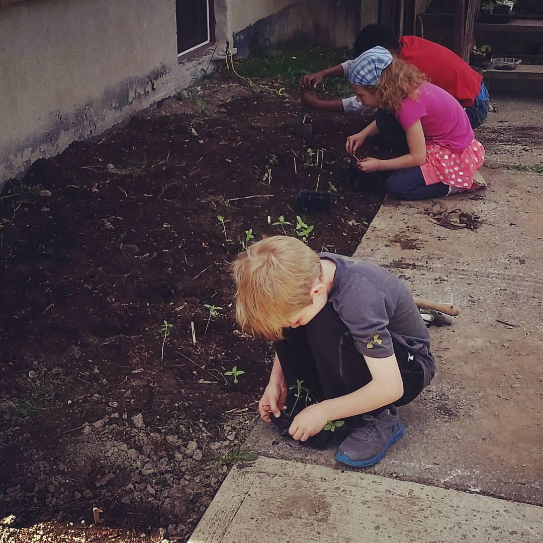 CLCS Pollinator Garden planting seedlings 2016