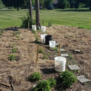 CLCS Sunflower Gardens and transplanted raspberry bushes 2016
