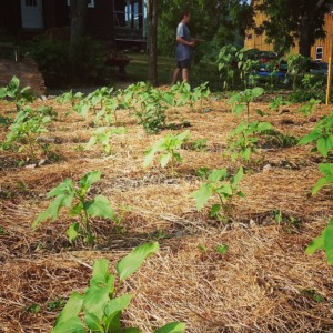 CLCS Sunflower Garden growing 2016