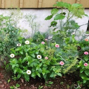 CLCS Pollinator Garden zinnias, sunflowers and dill 2016