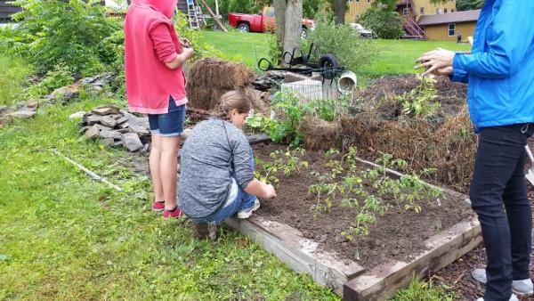 CLCS school garden tomatoes