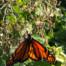 clcls monarch