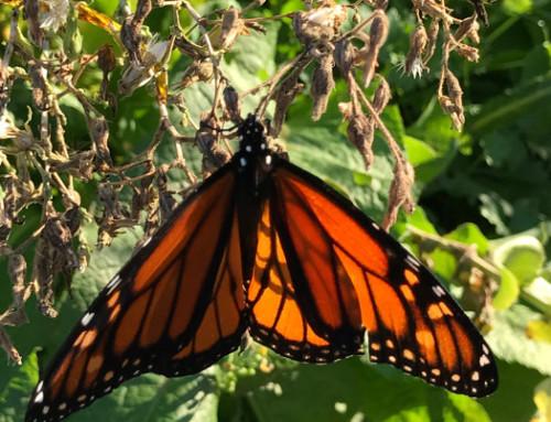 Pollinators in the Gardens!